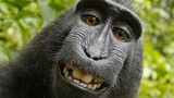 """Người đứng sau bức ảnh """"con khỉ selfie"""" khánh kiệt vì kiện tụng"""