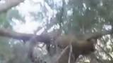 Video: Báo gấm săn khỉ đầu chó, không ngờ bị truy sát ngược