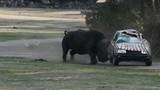 Tê giác nổi điên húc văng, lật đi lật lại ô tô đang có người