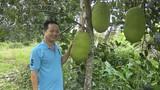 Sóc Trăng: Phát sốt với mít Thái 1,4 triệu/quả, bán cả vườn được hơn 1,1 tỷ