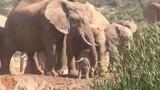 """Video: Cả đàn voi """"bàn bạc"""", tìm cách cứu voi con dưới hố bùn"""