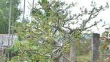 Mê hồn cây sanh cổ không lá nhưng quả chi chít đầy cành