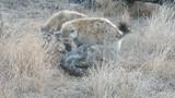 Video: Số nhọ gặp phải linh cẩu, trăn khủng đổi mồi lấy mạng