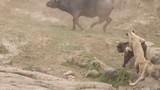 """Video: Hùng hổ săn trâu rừng, sư tử bị tẩn """"thừa sống thiếu chết"""""""