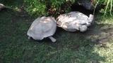Rùa cứu bạn gặp nạn đầy cảm động