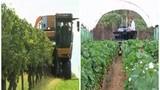 Cận cảnh máy thu hoạch nho, dâu tây, bắp cải siêu nhanh