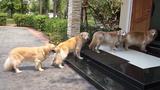Đàn chó xếp hàng rửa chân trước khi vào nhà gây sốt