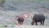 Màn rượt đuổi thú vị giữa tê giác và chim