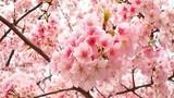 10.000 cây hoa anh đào đã tới Hà Nội phục vụ lễ hội
