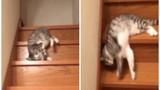 Chú mèo lười có một không hai