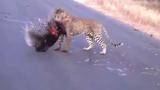 Báo đốm chết thảm vì cố gắng tấn công nhím hoang