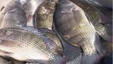 Sự thật tin đồn nuôi cá rô phi bằng thuốc trừ sâu