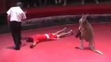 Kangaroo ra đòn hạ gục võ sĩ và trọng tài trên sàn đấu