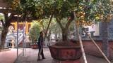Cây quýt cổ thụ trăm tuổi giá hàng trăm triệu ở Nghệ An