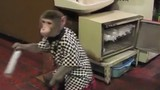 Độc đáo những chú khỉ hầu bàn chuyên nghiệp tại quán ăn
