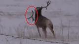 Kinh ngạc xem hươu rụng sừng khi đang chạy