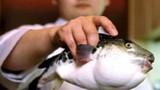 Nghệ thuật chế biến cá nóc độc ở Nhật