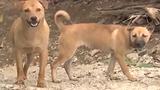 Video: Cấp phường, xã ở Hà Nội tự lo bắt chó thả rông