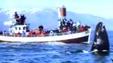 Video: Du khách đổ xô Iceland để ngắm con vật này