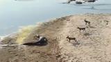 Clip: Cá sấu lên bờ cướp trắng mồi của đàn chó hoang