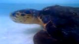 Ngạc nhiên rùa biển tấn công cá mập