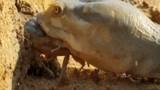 Video: Vừa chui ra khỏi hang, cua lập tức bị cắn vỡ mai