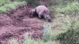 Video: Rớt nước mắt vì cảnh tê giác con tội nghiệp cố bú mẹ đã chết