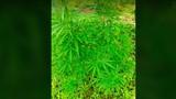 Người nước ngoài trồng hàng trăm cây cần sa ở bãi giữa sông Hồng