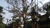 Cận cảnh cây sưa 200 tuổi ở Bắc Ninh sắp bị bán 24,5 tỷ