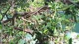 Hàng trăm con rắn lục đuôi đỏ ngụy trang trên cây
