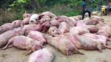 Dân chia nhau xác lợn chết, Chủ tịch tỉnh ra Công điện khẩn