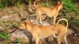 Tại sao chó Phú Quốc có giá hàng trăm triệu đồng?