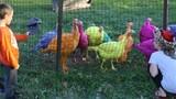 Tận mục những trang trại nuôi gà siêu quý hái ra tiền