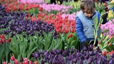 Mê mẩn vườn hoa tulip siêu khủng