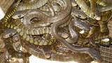 Phát hoảng hàng trăm con rắn trườn khắp sàn nhà giữa đêm