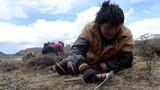 Dân Trung Quốc ùn ùn lên cao nguyên đào đông trùng hạ thảo