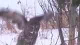 Video: Cú xám quên mất cách bay, ngã sấp mặt xuống tuyết