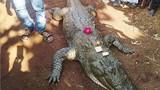 video: Kinh hãi cảnh đàn cá sấu háu ăn vây quanh người đàn ông