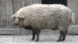 Video: Những giống lợn kỳ lạ trên thế giới vẫn tồn tại đến ngày nay