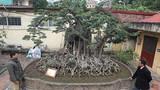 """Hai cây sanh """"khủng"""" của doanh nhân bí ẩn ở Hà Nội"""