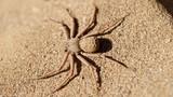 Rợn người những bí mật về loài nhện cát 6 mắt
