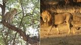 Kịch tính màn đấu trí của báo con và sư tử đói