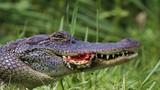 Kinh hoàng cảnh cá sấu khổng lồ nghiền nát rùa đẫm máu