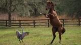 Chết cười ngựa thi nhảy với sếu đồi cát