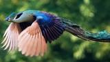 Ảnh hiếm khi loài chim công đẹp tuyệt mỹ tung cánh