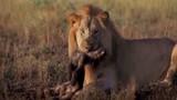 Rợn người sư tử đực lạnh lùng ăn thịt linh cẩu con
