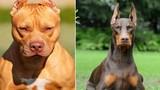 10 giống chó nhập ngoại nguy hiểm nhất Việt Nam