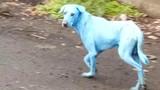 Sự thực chuyện chú chó màu xanh xuất hiện gây xôn xao