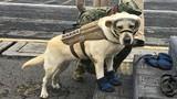 Gặp chú chó siêu anh hùng cứu sống 52 người khỏi thiên tai
