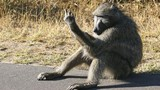 Lý do khỉ đầu chó kích động giơ ngón tay thối đến người